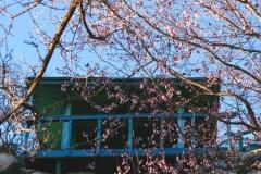 Cerisier en fleurs surplombé par un balcon